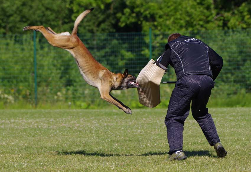The Belgian Shepherd Malinois Is One Of The Best Police Dogs.